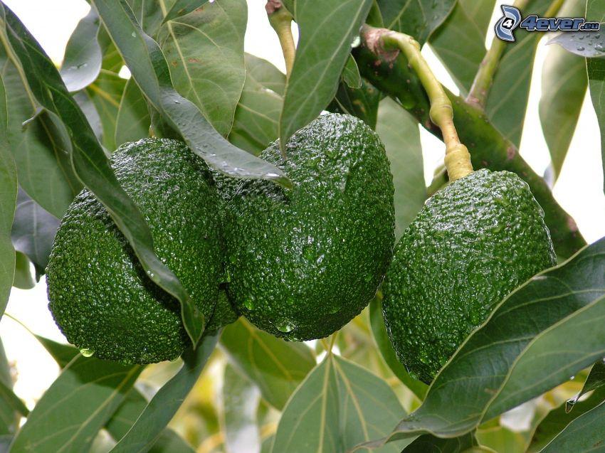 avocado, foglie