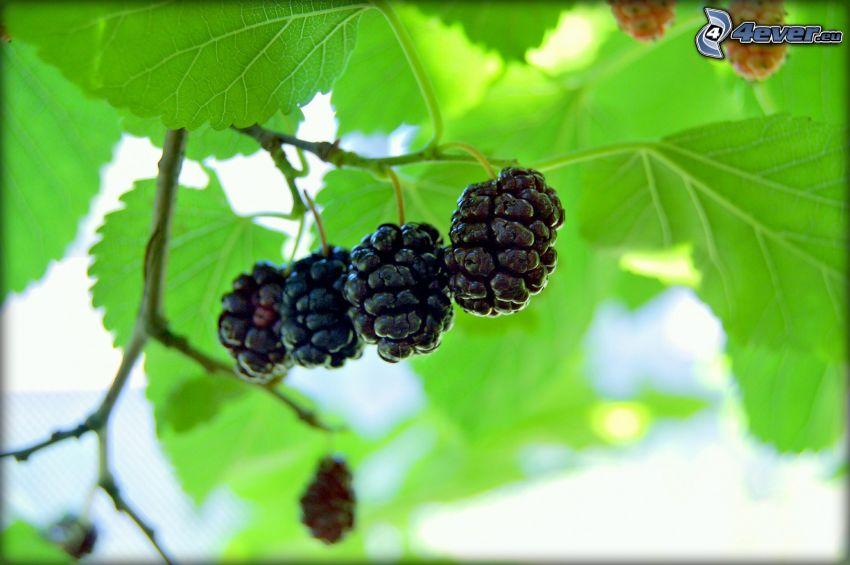 gelso, ramoscello, foglie verdi