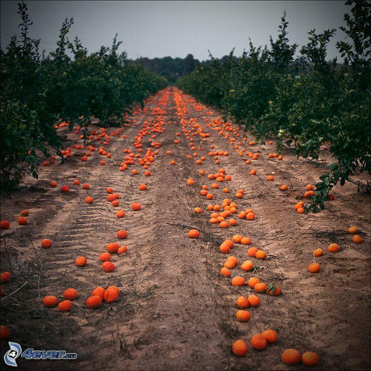 mandarini, frutteto, arbusti