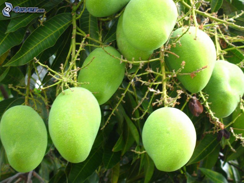 mango, foglie verdi