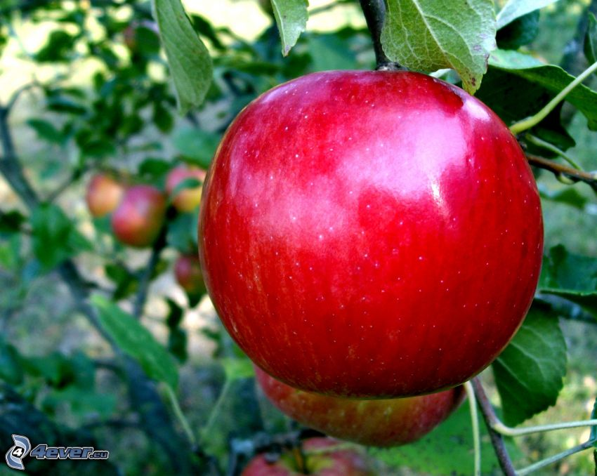 mela rossa, foglie, rami, malus