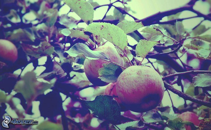 mele, rami, foglie