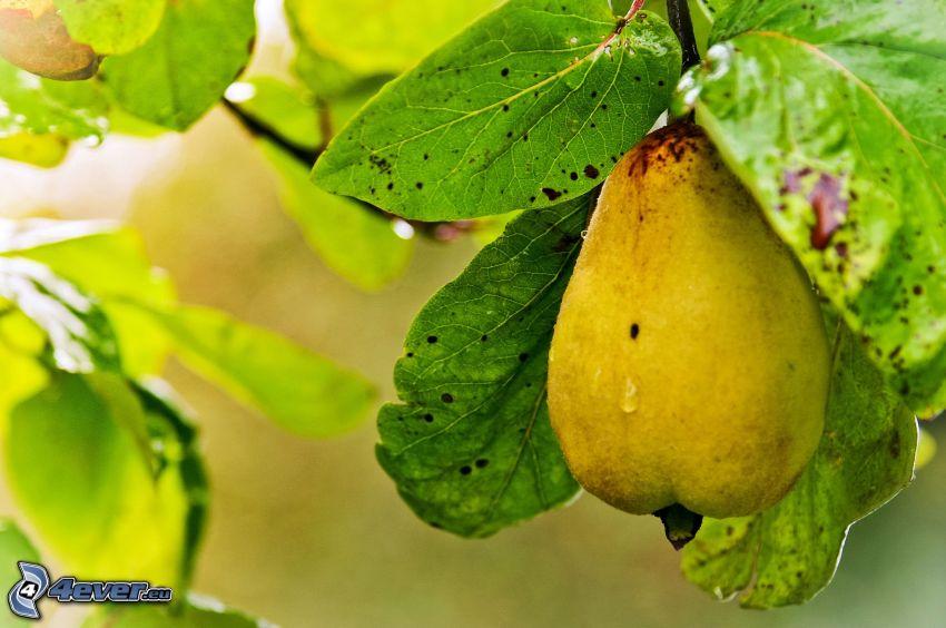 pera, foglie verdi