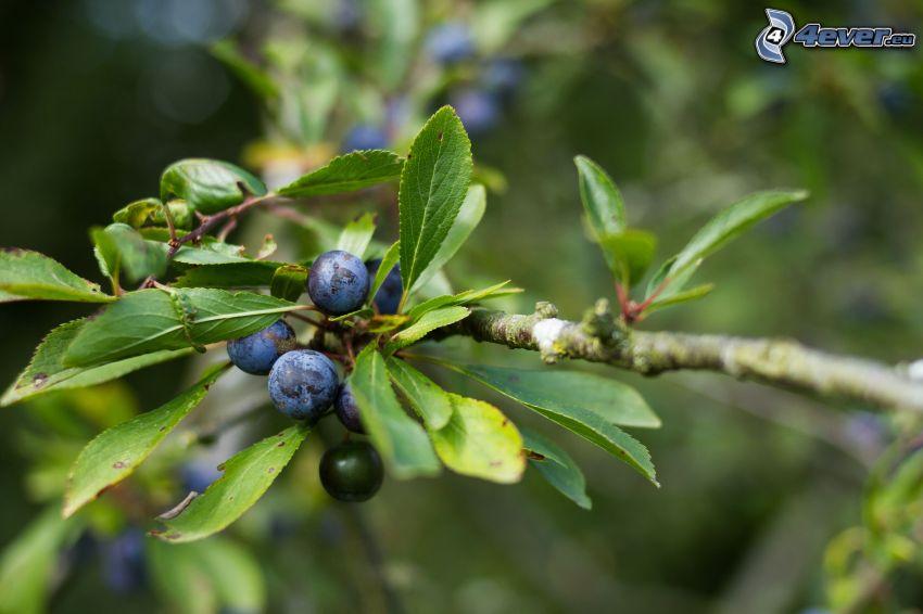 prugnole, foglie verdi, ramoscello
