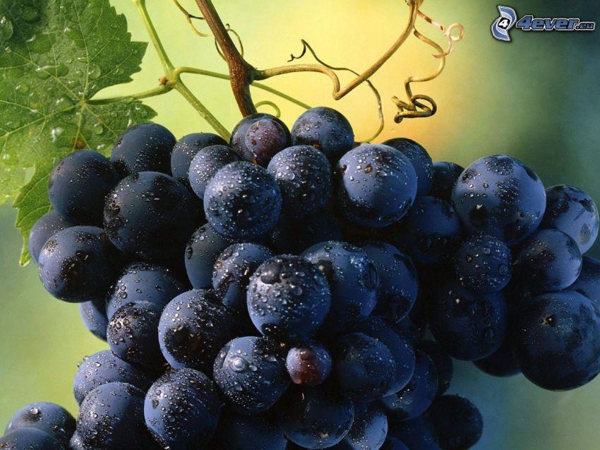uva, rugiada