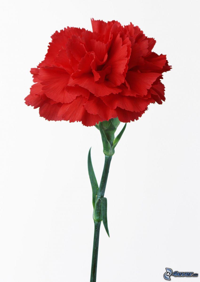 garofano, fiore rosso