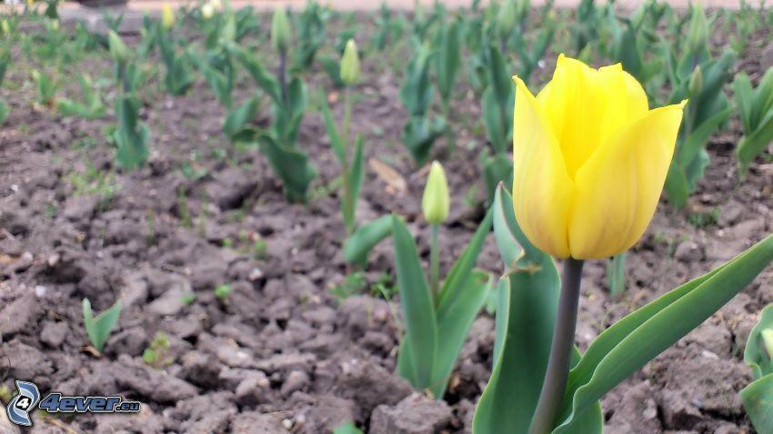 giallo tulipano