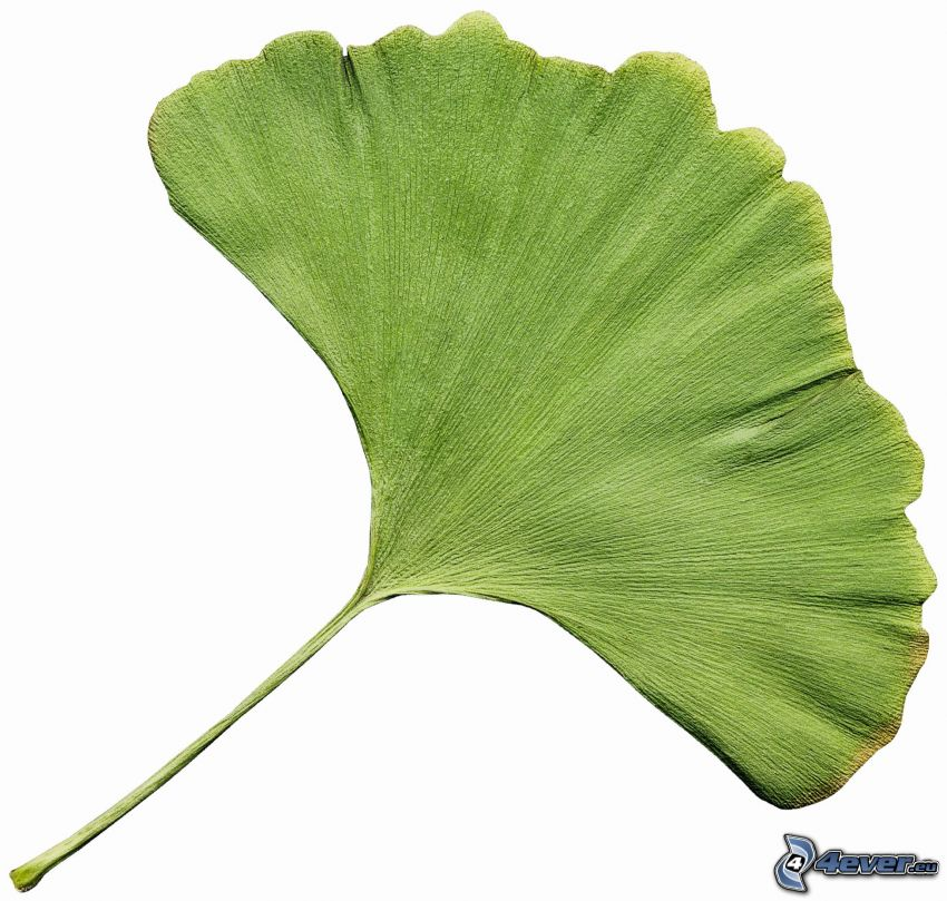 ginkgo, foglia verde