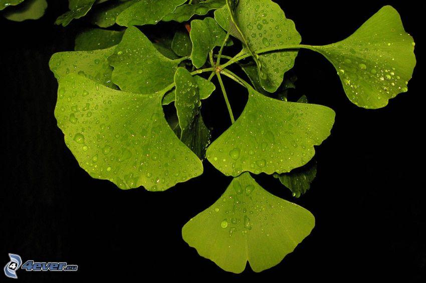 ginkgo, foglie verdi, gocce su foglie