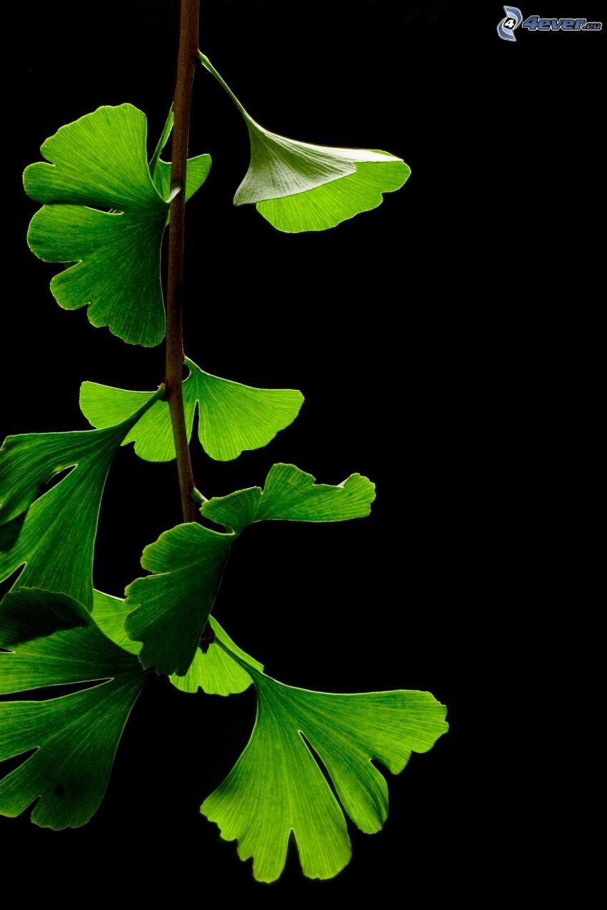 ginkgo, foglie verdi, ramoscello