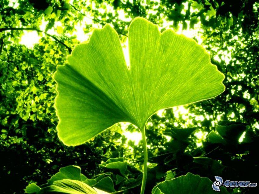 ginkgo, foglie verdi