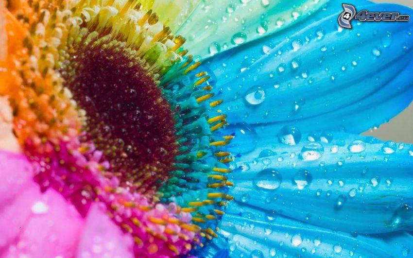 girasole, gocce d'acqua, colori, Photoshop