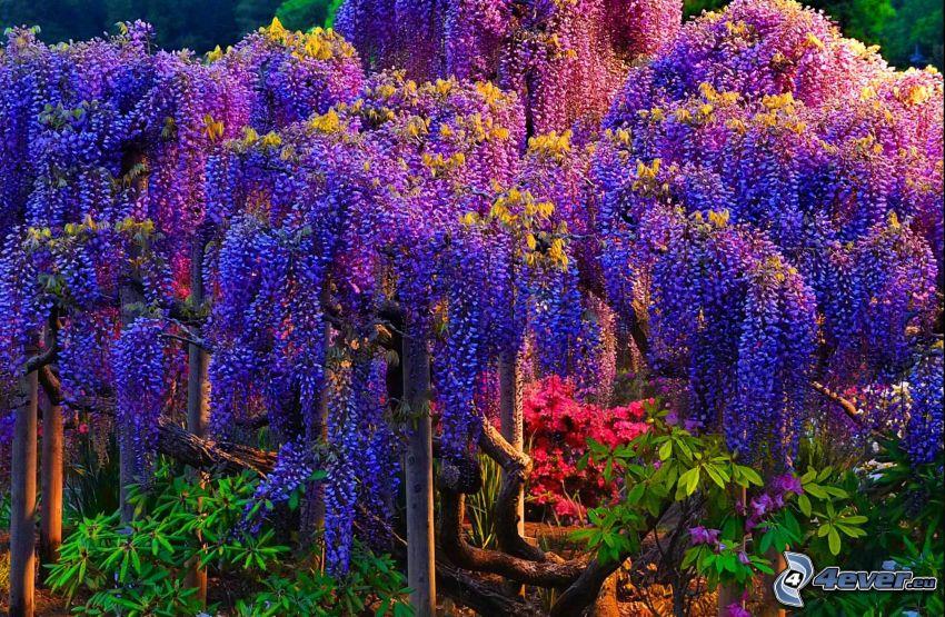 glicine, albero viola