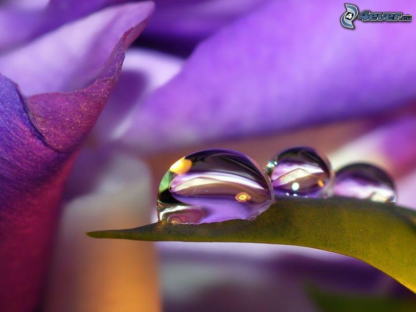 gocce d'acqua, fiori viola