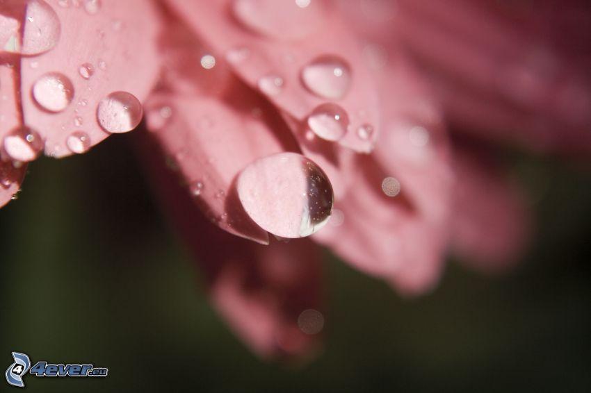 gocce d'acqua, petali