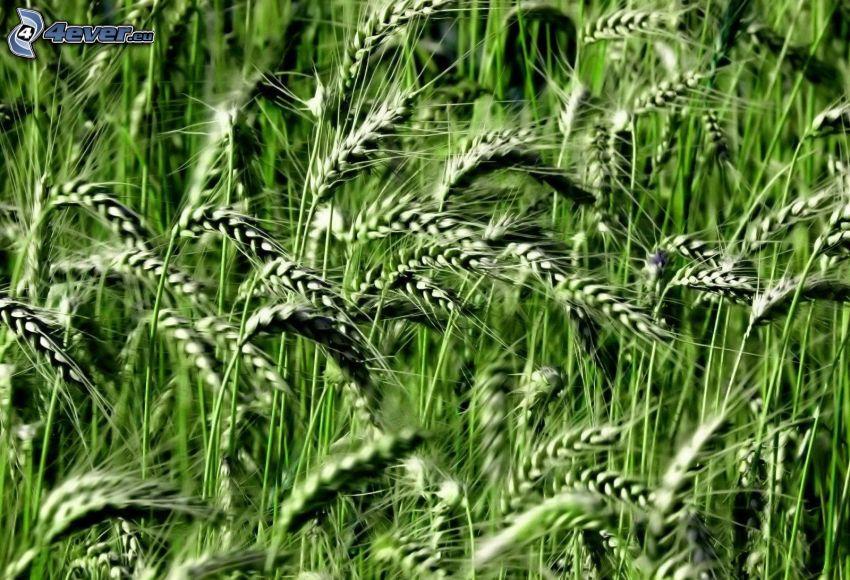 grano verde, grano
