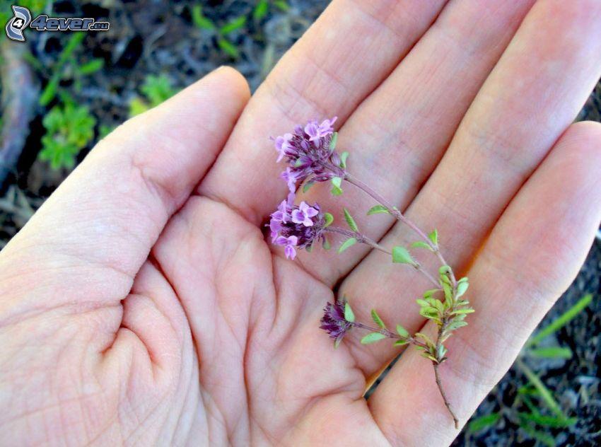 Il serpillo, fiori viola, mano