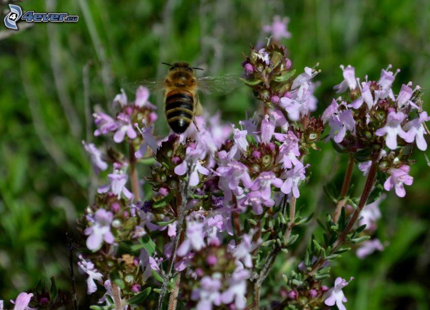 Il serpillo, fiori viola, vespa