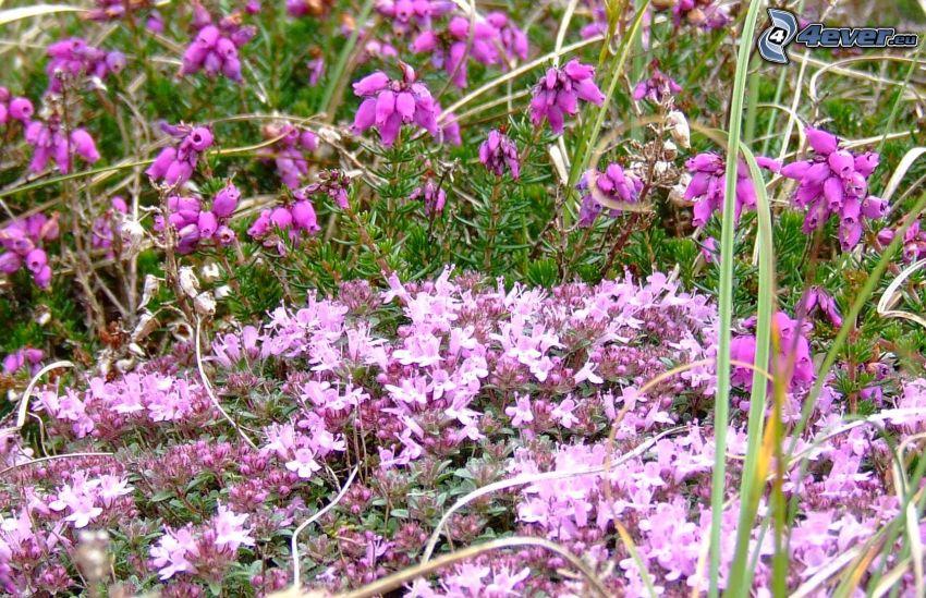 Il serpillo, fiori viola