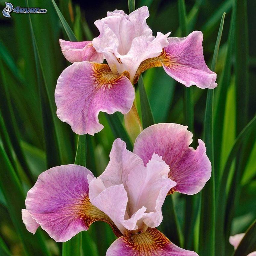 iris sibirica, fiori rossi