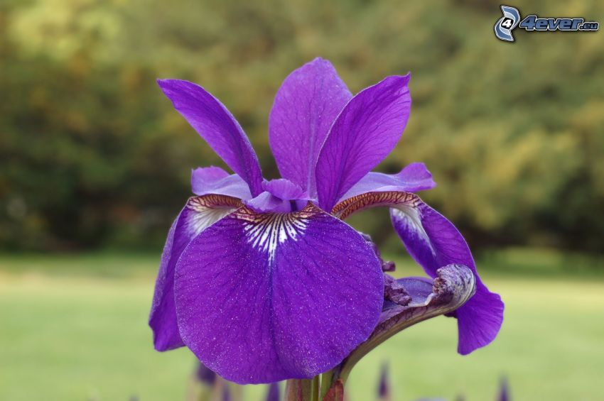 iris sibirica, fiori viola