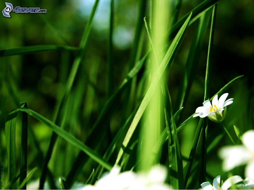 l'erba, fiori bianchi
