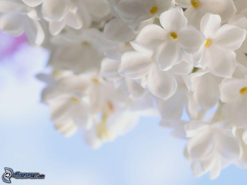 lilla, fiori bianchi