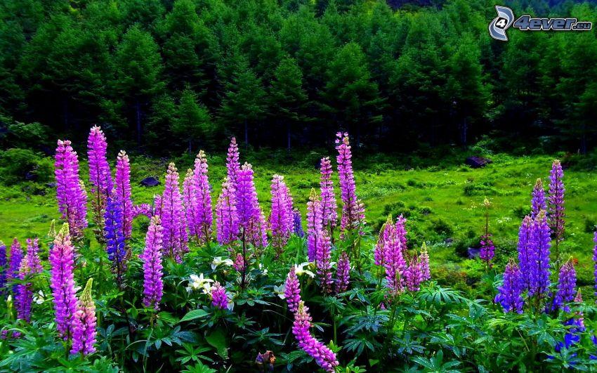 lupini, fiori rossi, bosco di conifere