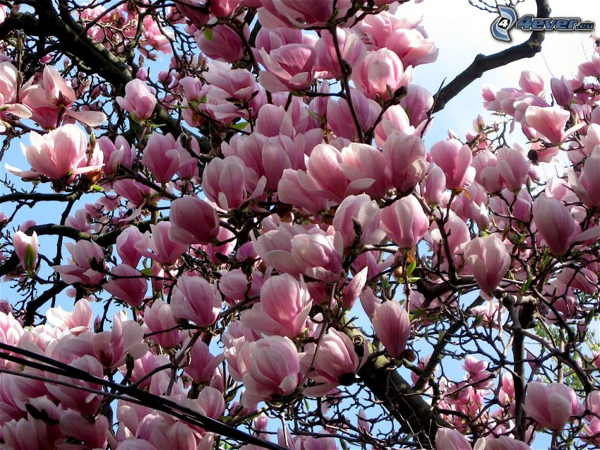 magnolia, fiori rossi