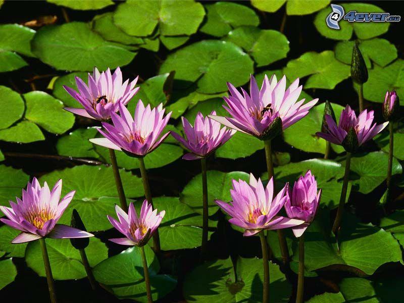 ninfee, fiori, acqua