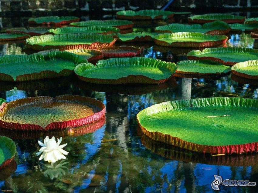 ninfee, lago, superficie d'acqua calma