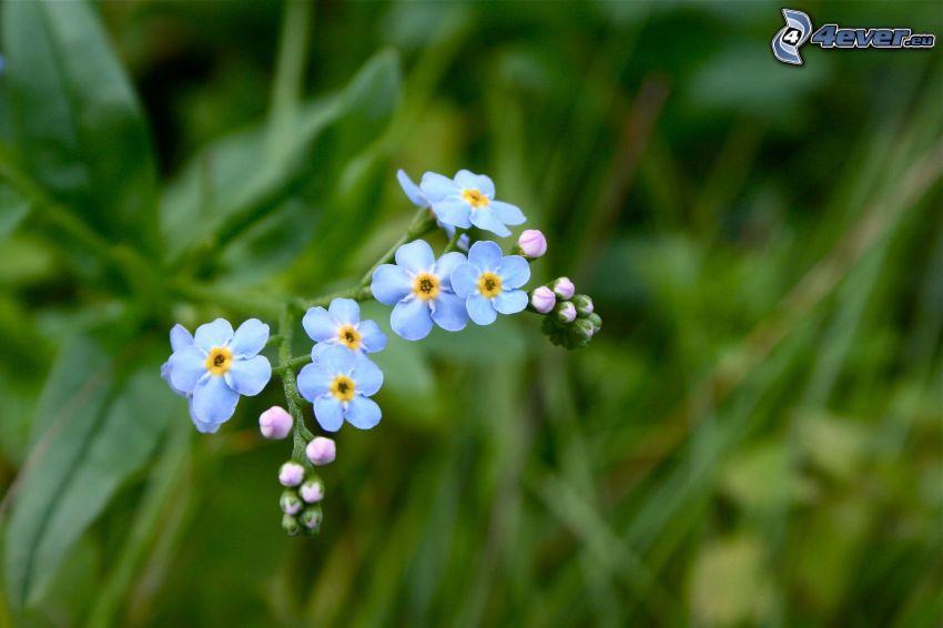 nontiscordardimé, fiori blu, l'erba
