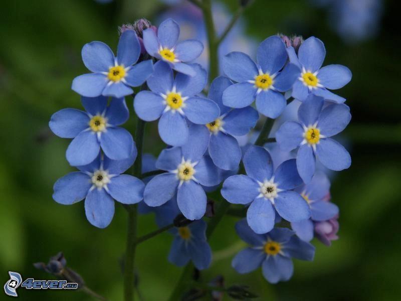 nontiscordardimé, fiori blu