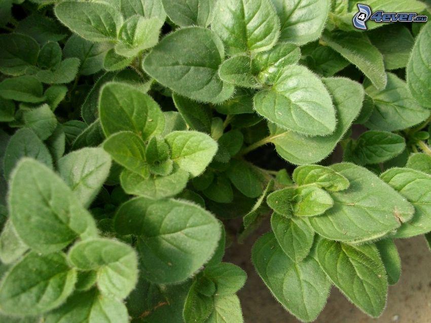origanum vulgare, foglie verdi