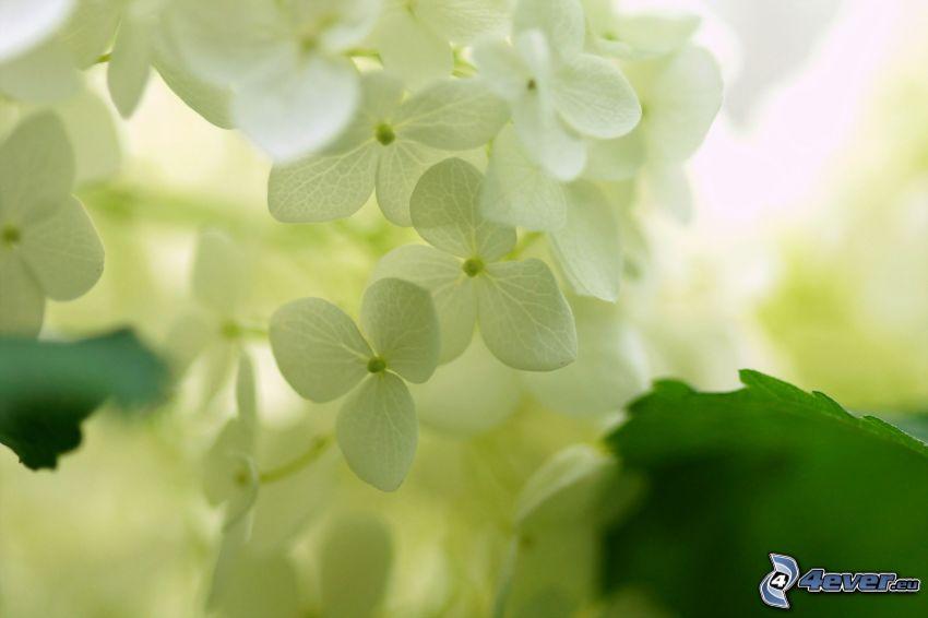 ortensia, fiori bianchi