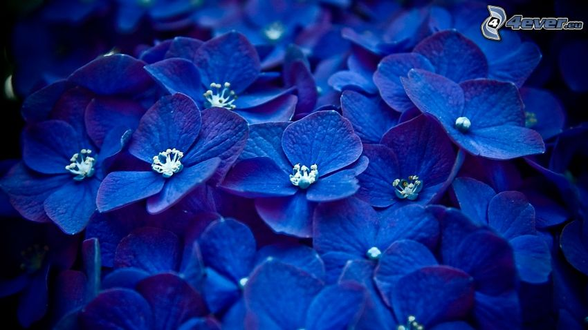 ortensia, fiori blu