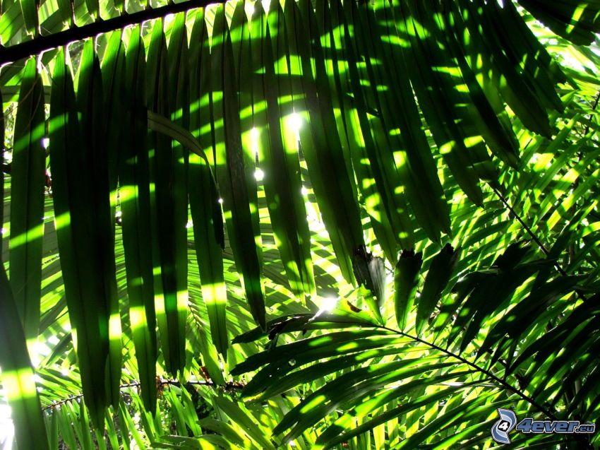 palme, verde