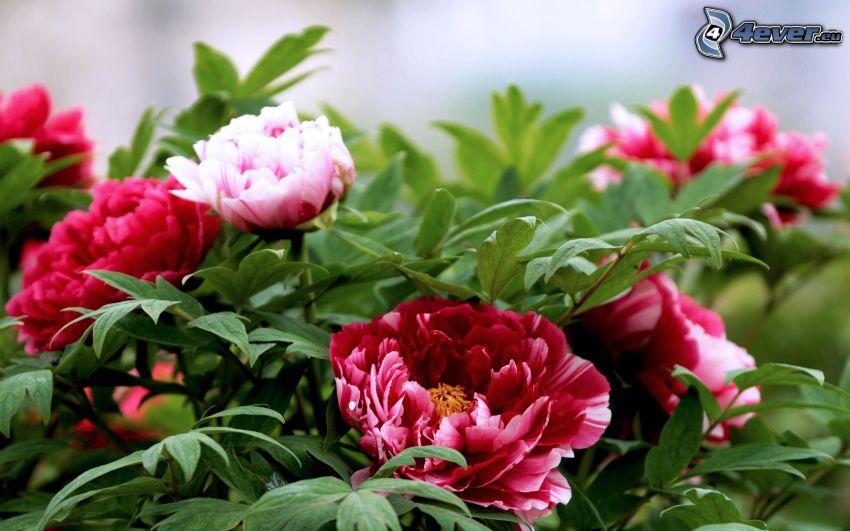 peonia, fiori rossi, foglie verdi