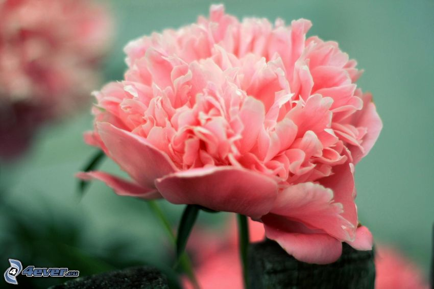 peonia, fiori rossi