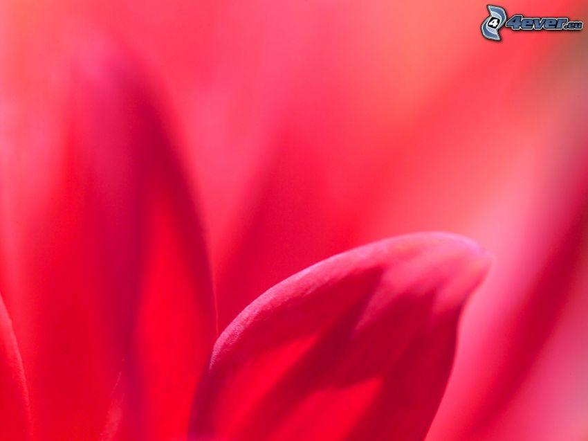 petali, fiore rosa