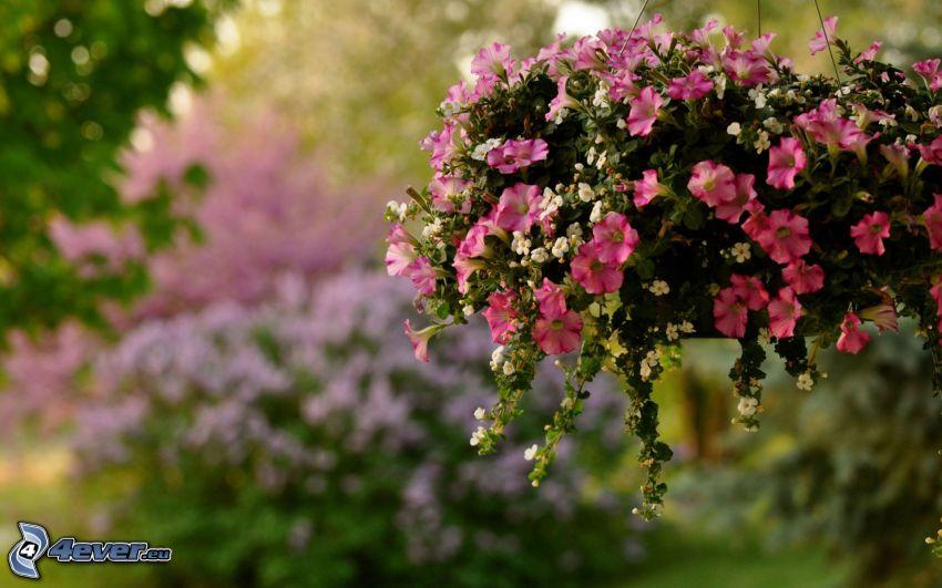 petunia, fiori rossi