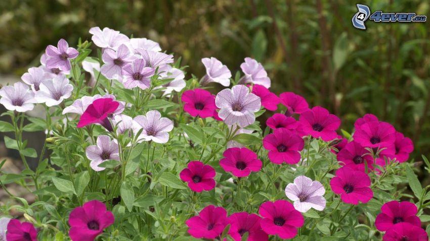 petunia, fiori viola