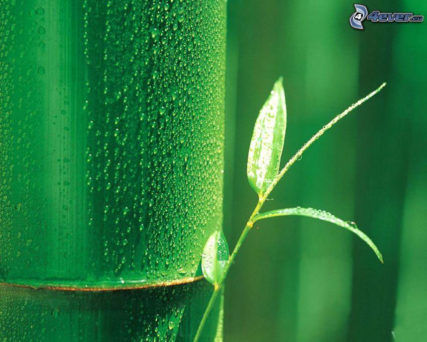 pianta, bambù, rugiada, gocce d'acqua
