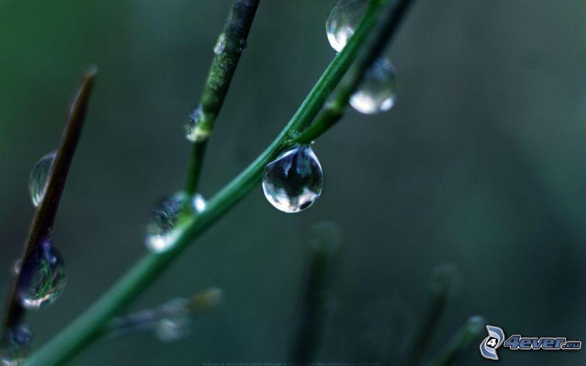 pianta, gocce d'acqua, macro