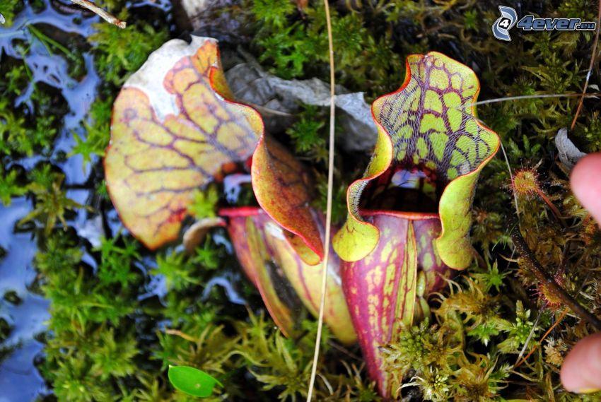 pianta carnivora, muschio, acqua