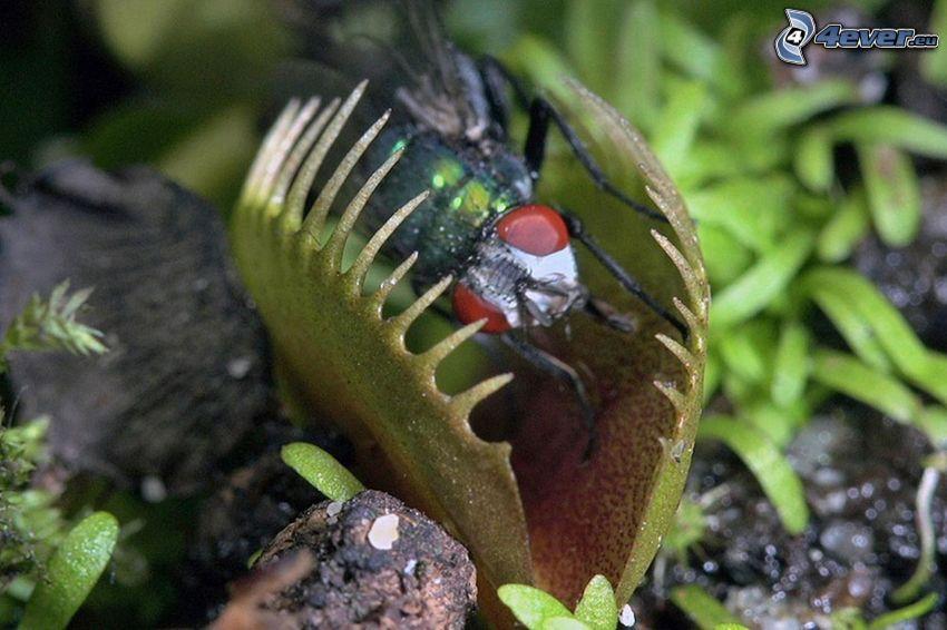 pianta carnivora, venere acchiappamosche, mosca