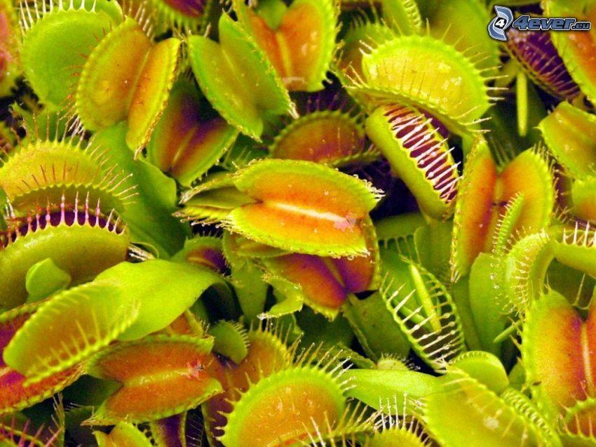 pianta carnivora, venere acchiappamosche