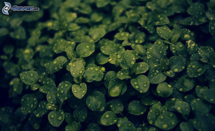 piante, gocce d'acqua