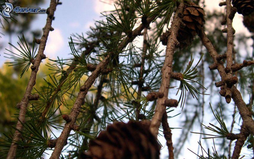 rami di conifere, coni di albero
