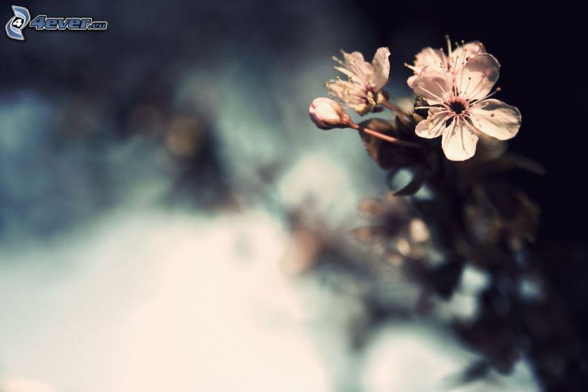 ramo fiorito, ciliegio in fiore